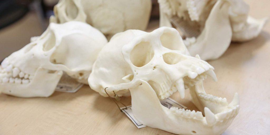 Anthropology- skulls